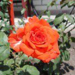 Королева цветов - роза!
