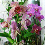 Домашние орхидеи