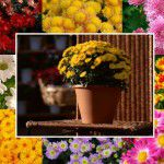 домашние хризантемы в горшке