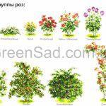 Классификация роз от специалистов компании Greensad