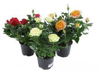 Миниатюрные розы, розы патио