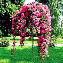 Роза, привитая на штамбе